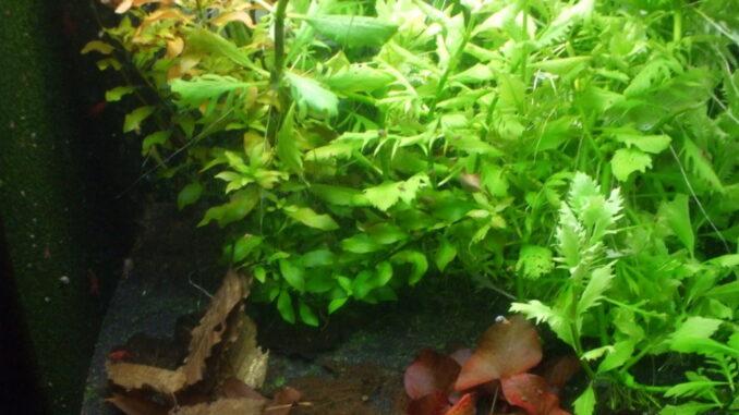 Aquarium mit vielen Pflanzen