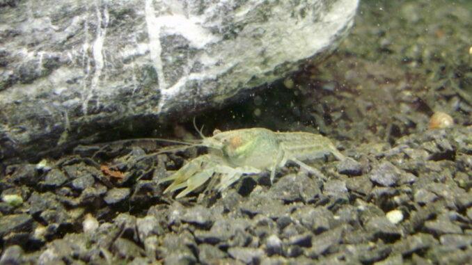 Männlicher cambarellus ninae Zwergkrebs
