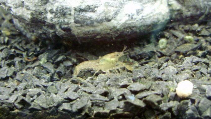 Cambarellus ninae - Weiblicher Zwergkrebs