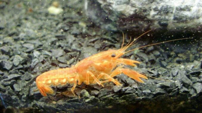 Zwergkrebs Cambarellus patzcuarensis ap. Orange
