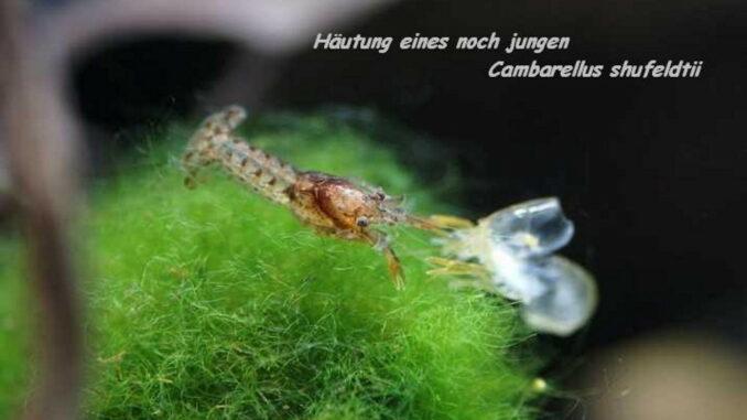 Häutung eines noch jungen Cambarellus Zwergkrebs
